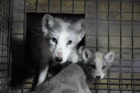 Make Fur History - wystawa w Europarlamencie pokaże realia hodowli zwierząt na futro