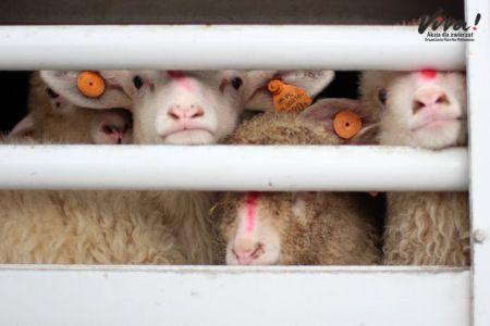 Nowy raport Fundacji Viva - niehumanitarny transport żywych jagniąt do Włoch