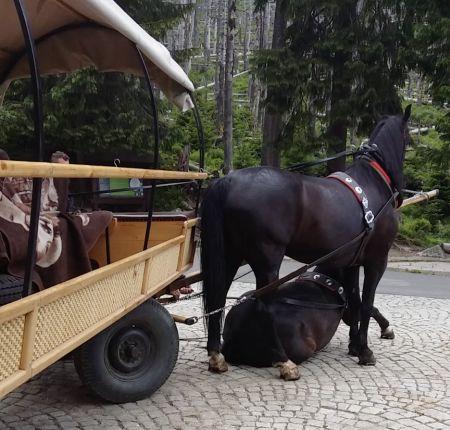 wypadek koń fundacja viva 1